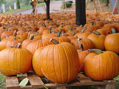 a sea of pumpkins