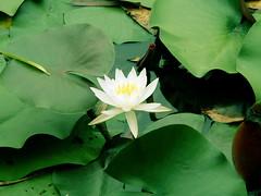 西湖睡莲 (Water Lily, The West Lake in Hangzhou) (Walnutist) Tags: waterlily westlake memory hangzhou 西湖 睡莲