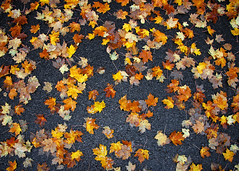 Scattered Leaves (Todd Klassy) Tags: autumn trees light sky plant tree art fall classic beautiful leaves yellow horizontal wisconsin forest landscape outdoors design leaf maple stem woods day branch pavement parking fineart lot ground autumncolors foliage vision environment stockphoto autumncolor artistry morphology wausau stockphotography vibrantcolor photosynthesis royaltyfree colorfulautumn colorimage botony fallseason wisconsinautumn rightsmanaged fallinwisconsin wisconsinphotographer scatteredleaves autumninwisconsin vibrantautumncolors toddklassy foliagereports wisconsinlandscapephotographer wisconsintravelphotographer