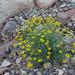 Fiveneedle Pricklyleaf