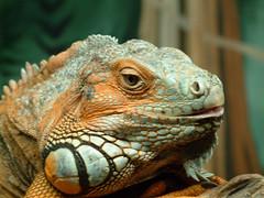 Reptiel at Olmen Zoo (vintagedept) Tags: 15fav animal zoo top20animalpix belgium reptile leguaan iguana olmen notpicked 69points