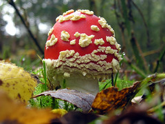 Fly Agaric Mushroom (*Lindsey*) Tags: nottingham autumn red nature mushroom forest fly toadstool agaric sherwood flyagaric nikonstunninggallery