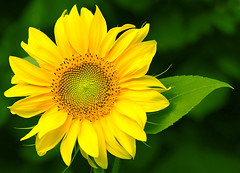 juvenile sunflower (azem) Tags: 2005 summer sun flower nature topf25 colors closeup canon wow ilovenature eos top20np perfect deleteme10 topc50 saveme9 azem sunflower azemi fiveflickrfavs