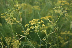 Fennel (Living Juicy) Tags: plant flower green yellow fennel livingjuicy lj2005