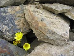 Life on the rocks. (Foto Buff) Tags: rock flowers beach stone notpicked