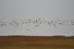 IMG_6018.jpg (wildorcaimages) Tags: snowgeese birds