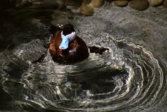 Ruddy duck (fenlandsnapper) Tags: sandiegozoo x700 ruddyduck