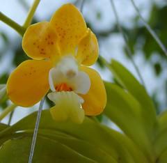Vanda denisoniana (Brujo) Tags: flower vanda orchid orchidaceae