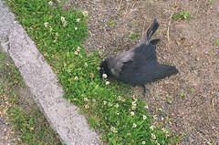 06740022 (jann_on) Tags: deadbird corvid norway norwegen norge summerof2005 rabenvogel totervogel