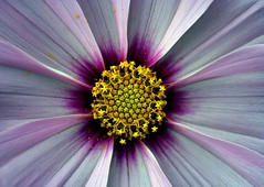 star burst (Emily Quinton) Tags: pink flowers macro topf25 yellow wow wonderful stars ilovenature topv555 topv333 purple topv1111 topc50 topv999 edenproject 100v10f september 500plus20 topv777 top20flower pollen 1025f topi interestingness6 supacrew faveflower
