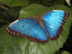 Blue Morpho Butterfly Stopped Fluttering for a Split Second (nfoto) Tags: blue macro nature closeup butterfly spectacular ilovenature 100v leaf amazing wings gorgeous bleu papillon centurian 100views 400views 300views veins morpho delicate 200v wingspan brilliant breathtaking floraandfauna irridescent spreadeagle morphopeleides bluemorpho terrific ailes magicwings papillonbleu 300v alighting peleides 111v1f nfoto favewings blueonblue 400v wingswideopen stoppedfluttering