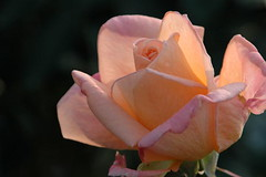 for you (fcindy) Tags: rose gutentag wow thankyou loveit
