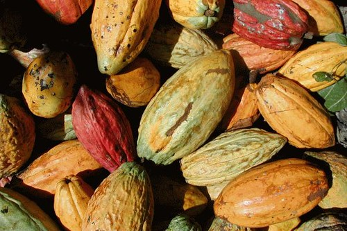 Cacao pods in Chuao