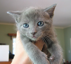 Kitten #3 (Katey Nicosia) Tags: cute cat wow kitten gray kitty kissablekat