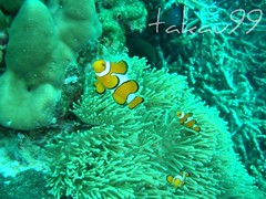 Western Clownfish on Koh Racha Yai Island, Thailand