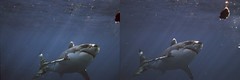 Great White 3D.jpg (SteveMcN) Tags: sea white animal mexico shark 3d crosseye great guadalupe sterography