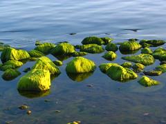 Green hairy rocks (Fredww) Tags: sea green finland helsinki baltic s1 alga