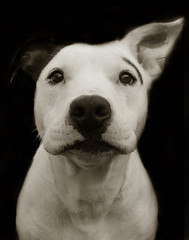 Petey - Adopted (Traer Scott) Tags: portrait urban blackandwhite dog pet dogs animals book pitbull providence rhodeisland 500v50f animalrescue 1500 shelterdogs dogportraits fineartphoto traerscott