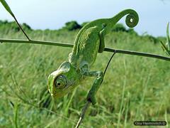 Common Chameleon (Chamaeleo chamaeleon) זיקית מובהקת