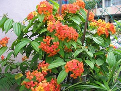 Bauhinia kockiana in our garden, shot September 2005