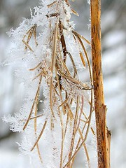 Fireweed in winter