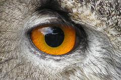 owl (Leo Reynolds) Tags: owl eagleowl zoo fauna animal bird eye scoutleol30 minicardphoto01 leol30random oneeye scoutleol30set 0sec xexplorex xscoutx noexif xleol30x xxplorstatsx hpexif xratio3x2x xx2005xx