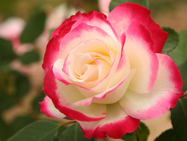 Red, pink, white rose. My favorite rose, a Cherry Parfait, is showing off