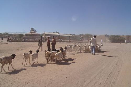 Hargeisa livestock market 6