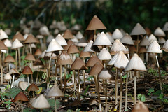 Mushroom Forest (Eric Hunt.) Tags: macro mushroom closeup strybing top20nature mycology psilocybe littlebrownmushroom strophariaceae