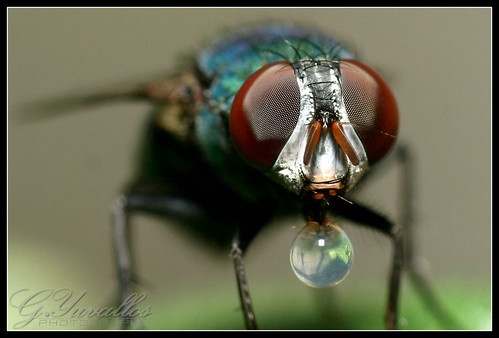 Bubble Blowing Fly