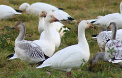 IMG_7165.jpg (wildorcaimages) Tags: snowgeese birds