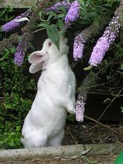 Honey (Alison Jayne) Tags: animals pets rabbits bunnies honey