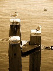 And the bronze goes to... (Joris (Le Chef)) Tags: amsterdam seagull gull water palen meeuw eend duck amstel