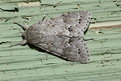 Acronicta dactylina 20050711_3935 (GORGEous nature) Tags: yard washington gray moth stevenson skamaniaco noctuidae acronictinae wa dorsal midsize mona9322 acronictadactylina mona9203 johndavis