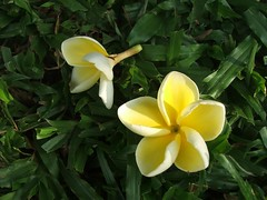 Araliya (Chinthana Seneviratne) Tags: srilanka lanka araliya flower
