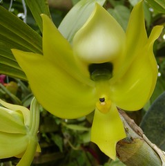 Cycnoches chloraradicon (Brujo) Tags: orchid yellow cycnoches