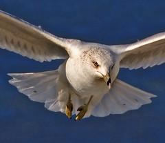 Gull's Attention (hodad66) Tags: bird animal xt florida seagull abigfave
