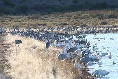 200601_Bosque_21 (rswan46) Tags: bosque birds sandhillcranes snowgeese
