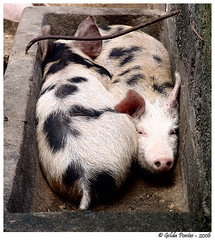 Sharing ... (Azorina) Tags: 510fav poetry poem pigs sharing poesia animais farmanimals porquinhos poema azorina leites zooparkfarmantics podiumseries duetos