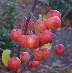 Melde mich mit Winterfrüchtchen zurück ;-) . Zieräpfel (happycat) Tags: apple fruit germany j thüringen jena frucht apfel crabapple obst zierapfel wildapfel
