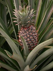 Ananas comosus (Bromeliaceae)