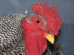 Curious Rooster (Berryblue) Tags: chicken tag3 taggedout tag2 tag1 rooster
