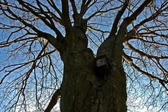 linden tree, winter (Alida's Photos) Tags: winter tree texture linden birdhouse bark lindentree tenuouslink