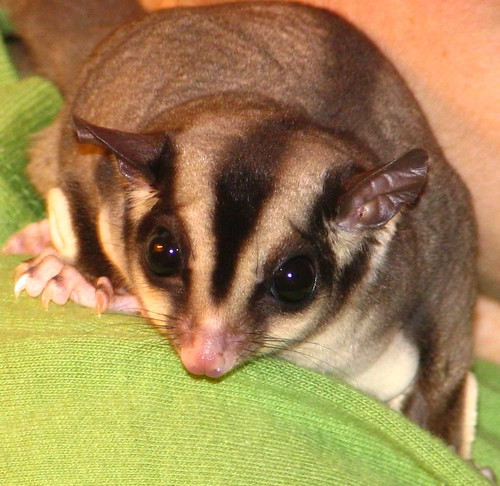 sugar glider goodness