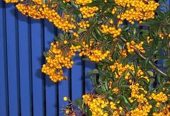 ??    Danke, digi100! (Feuerdorn) (happycat) Tags: orange fruit germany bush frucht ostsee strauch busch khlungsborn mecklenburgvorpommern feuerdorn