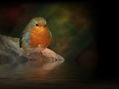 Robin awaits (spitfirelas) Tags: desktop wallpaper portrait black bird water robin river alone breast drink background profile beak calm single thirst photoart 1024 spitfirelas wateredge
