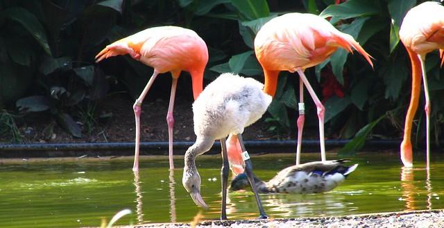 Gray Flamingo