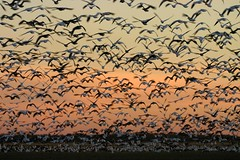 Geese Galore (Razzy Raz) Tags: sunset sun nature field birds ilovenature geese wings flock wing 100v10f goose arkansas pick10 1on1 featheryfriday birdphoto scoreme37 prockter