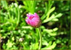 Chrysanthemum bud ( Graa Vargas ) Tags: pink flower bud chrysanthemum crisntemo graavargas 2006graavargasallrightsreserved 68601120513