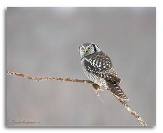 1E1A6825-DL   -   Chouette épervière / Northern Hawk Owl.